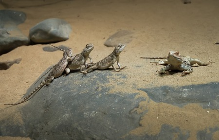 africa chameleon: Three lizards bask on the sand