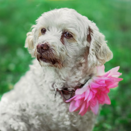 observes: White dog with flower on the neck sits on the grass Stock Photo