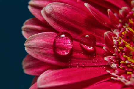 large clear drops of water on the red petals of the gerberflower flower, marcoshooting on a dark blue background, close-up, horizontal, defocus