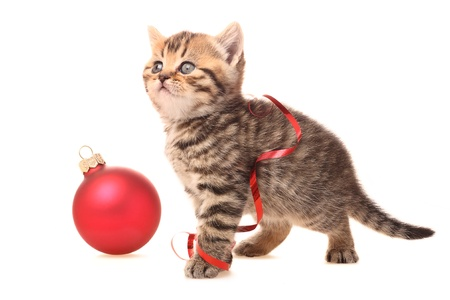 Kitten with Christmas Decorations on white background photo