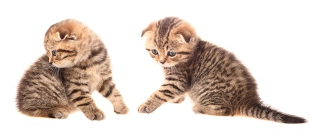 Small scottish fold kittens on white background Stock Photo - 11510504