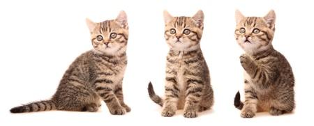 Scottish kitten in various poses photo