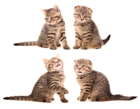 Four Scottish kittens on white background photo