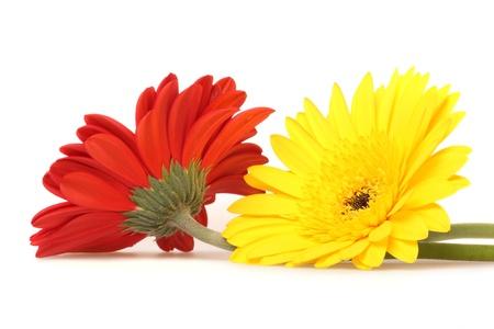 barberton daisy: Red and yellow gerbera on white Stock Photo