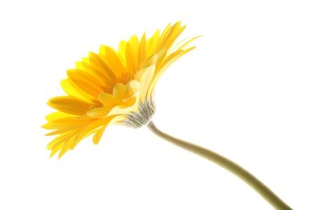 barberton daisy: Yellow gerber daisy in isolated white