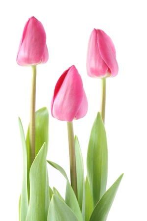 Isolated pink tulips - spring time Stock Photo - 11510529