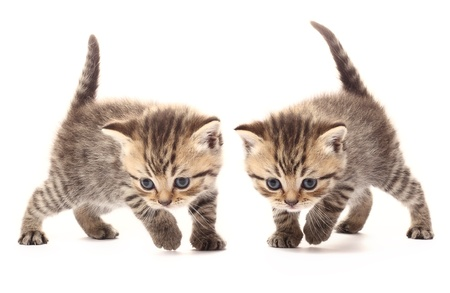 Two small scottish kittens on white background photo