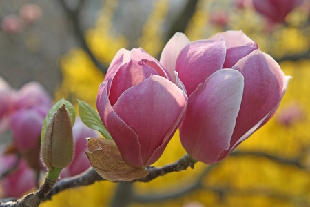 Pink magnolia blossoms in the park Stock Photo