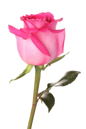 Pink rose with drops of water on a white background