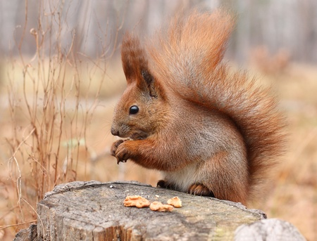 red squirrel: Squirrel on a tree stump in a park