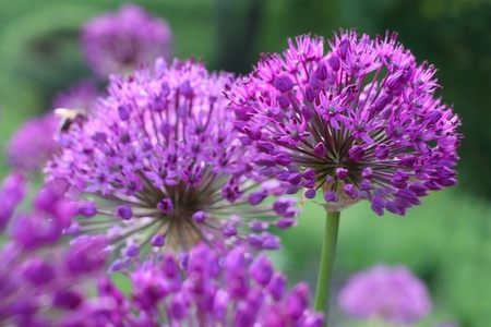 Many round shaped blooming purple onion flowers in spring time Stock Photo