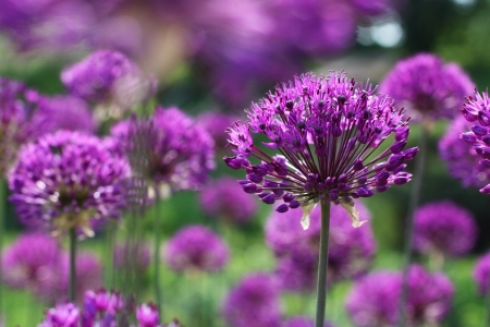 spring onion: Many round shaped blooming purple onion flowers in spring time Stock Photo