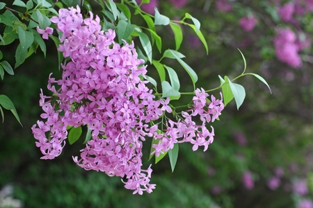 Close-up branch of lilac Stock Photo