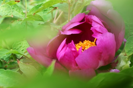 Japanese tree peony bloom, framed by green leaves Stock Photo
