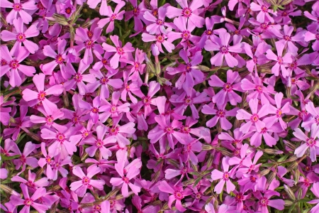 Blooming of beautiful Phlox in the spring