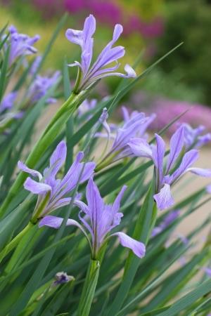 Beautiful wild iris flowers in spring