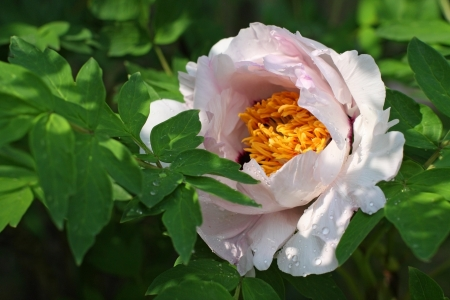 Japanese tree peony bloom with drops of water after rain