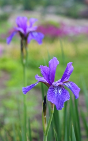 Beautiful iris flower in spring Stock Photo