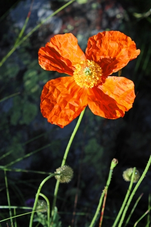 Poppies on meadow - flower closeup  Red poppy