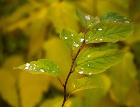 diamond raindrops on autumn yellowed leaves Reklamní fotografie
