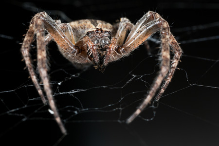 arachnoid: Spider. Macro nature. Close up of garden spider on natural black background. Scary halloween card Stock Photo