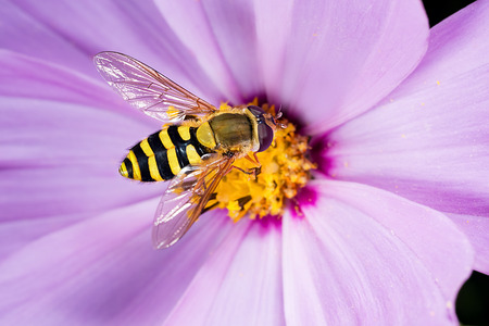 Flower fly, hoverfly, syrphid fly. Eupeodes luniger collects nectar from the pink cosmos flower. Mimicry of wasps and bees. Macro photo. Natural background. Beautiful summer wallpaper Stock Photo