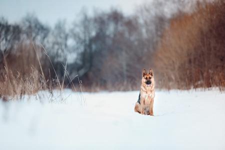sitting german shepard
