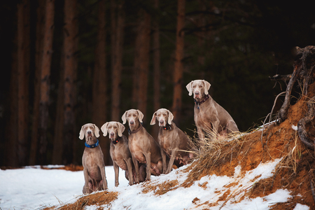 Weimaraner dogs sitting on the rock