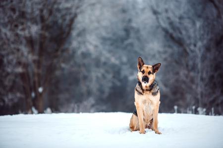 East European Shepherd at snowing winter