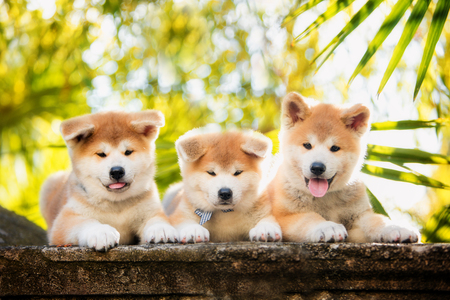 Three puppies of red New Years Akita dogs sitting on stairs in nature at sunlight