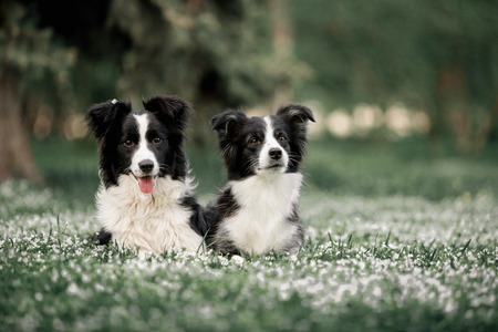 two Cute Black And White Border Collies Family Laying
