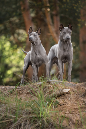 two Thai Ridgeback dog staying on the forest