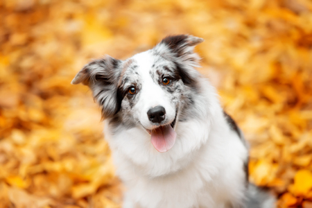 portrait marble border collie dog sitting with leaves in autumn