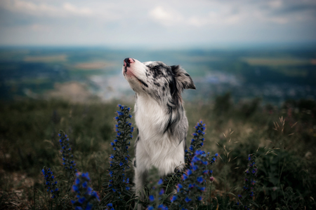 portrait border collie sit at the mountains in flowers Stock Photo