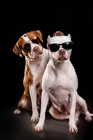 American Pit Bull Terrier and Staffordshire terrier sitting and play in front of black background