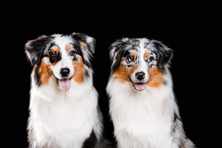 Overhead view of two Australian Shepherd portraits during a low-key studio