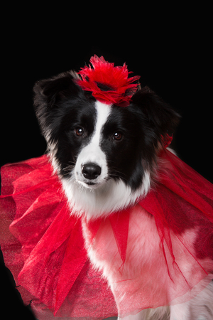 isolated dog hold a flower in her head on black background