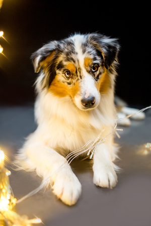 Overhead view of Australian Shepherd during a low-key studio portrait with garland Stock Photo