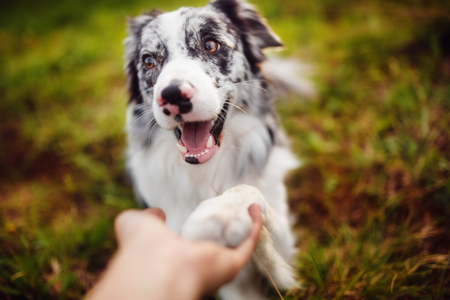 border collie gives paw