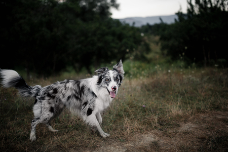 border collie dog in the wild