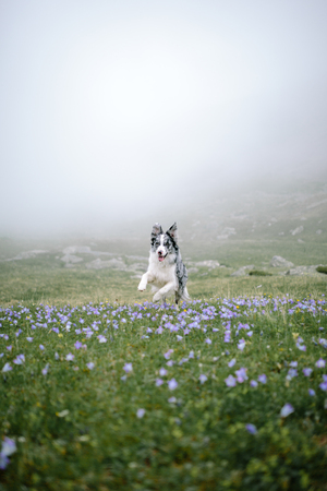 Border Collie breed dog runs in a flower field, field and flowers