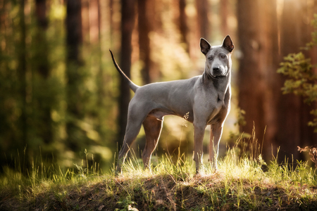 dog breed Thai ridgeback stands in the forest