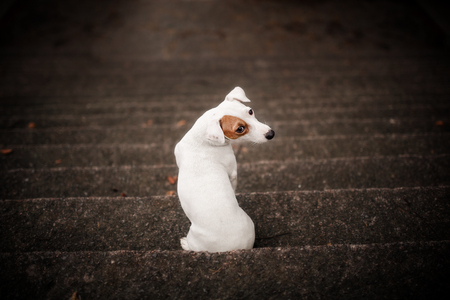 jack russell terrier sitting on the stairs with his back against