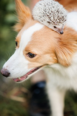 dog breed border collie playing with a hedgehog