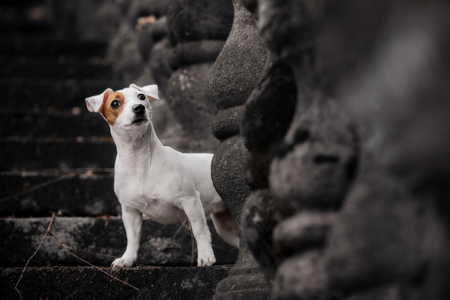 purebred dog jack russell terrier sits on a stone