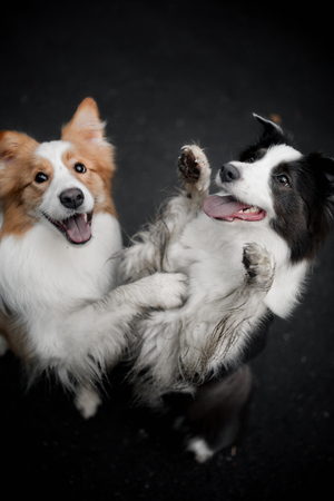 Happy two border collie dogs stand on their hind legs in background