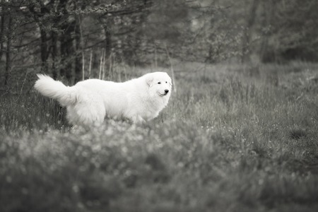 White Maremma walks through the woods. Black and white photography