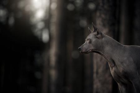 cute grey portrait Thai Ridgeback dog on the forest 免版税图像