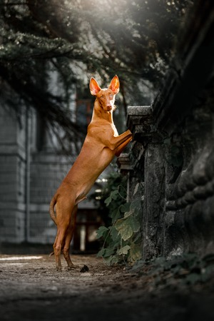 Pharaoh hound dog stay on railing . park and green on background