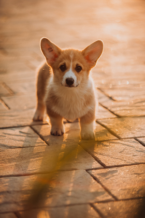 puppy Welsh corgi at walk on road in sunset